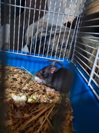 Продам маленькую крысу