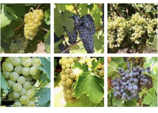 Struguri Amestec/diferite soiuri pentru vin