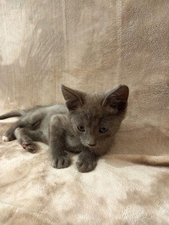 Помесь русской голубой кошки