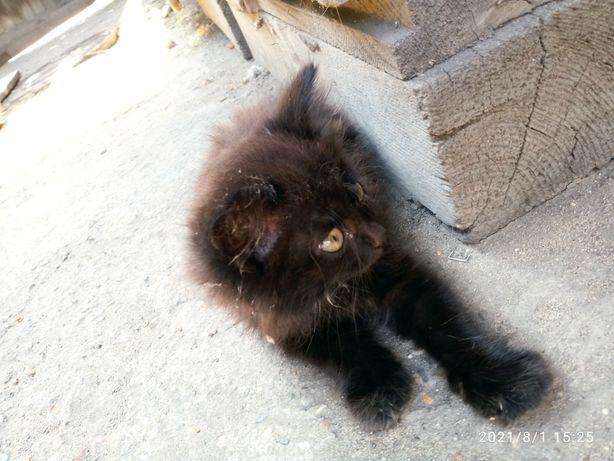 Отдам чёрного пушистого котёнка