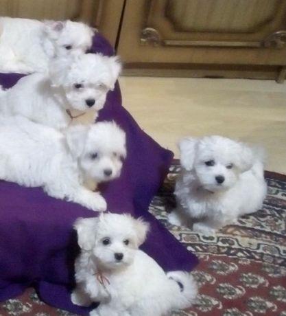 Малтийска болонка кученца с родословие