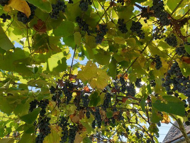Vand struguri negri pentru vin