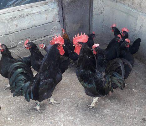 Яйца от Черна Шуменска кокошка