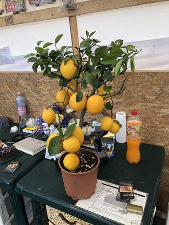 Vand lamai, grapefruit , lime , mango , kiwi si smochin