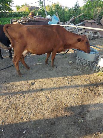 Продам 2 дойные коровы