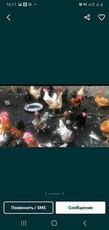 Продам домашнюю несушку курицу с цыплятами