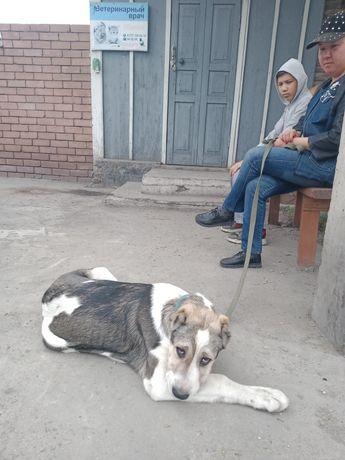 Пропала собака, алабай