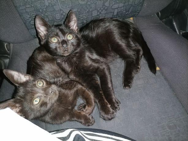 Pui de pisica cuminți, jucăuși, iubitori!