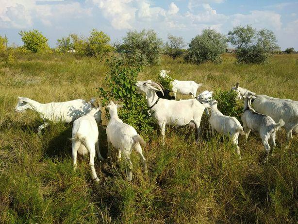Продам стадо коз