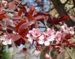 Prunus nigra ( corcodus rosu )