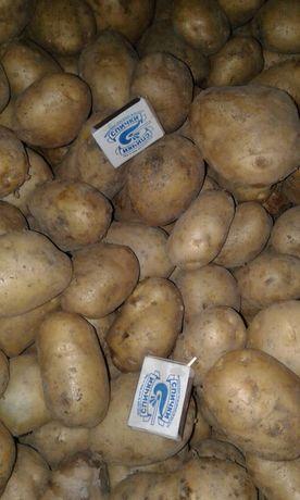 Продам картофель на зиму Галла