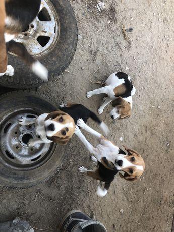 Donez caini beagle