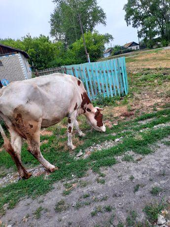 Продам корову со вторым отелом