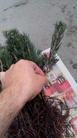 Puieti de conifere la cel mai mic pret din Romania!
