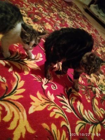 Подарю котят от крысаловки