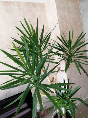 Цвете палма Юка в саксия
