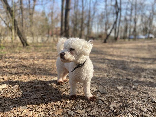 Adoptie Bichon (baiat)