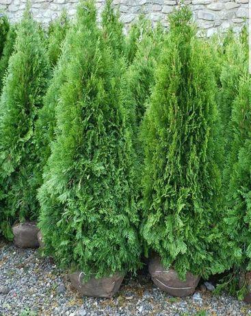 Poze reale ! Plante ornamentale ( tuia brazi, mesteacăn, tei, artar)