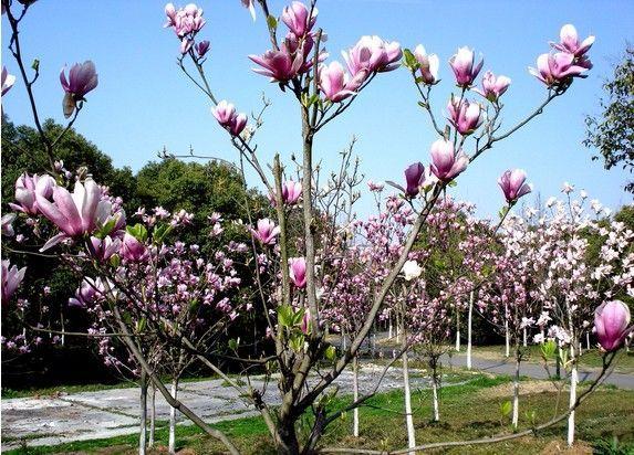 Seminte magnolie- 40 seminte