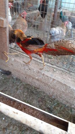 Mascul fazan auriu pe roșu matur.