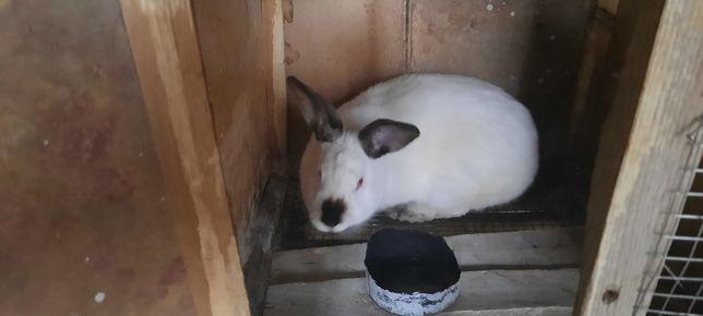 Продается кролики Калифорния