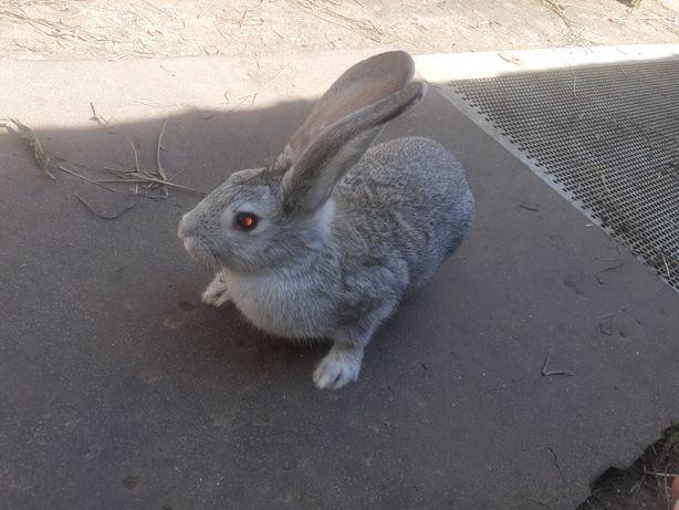 Продаются кролики.