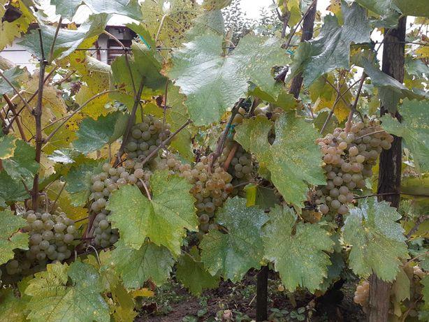 Struguri de vin altoita soi cramposie, calitate 2 lei kg,  Valcea.