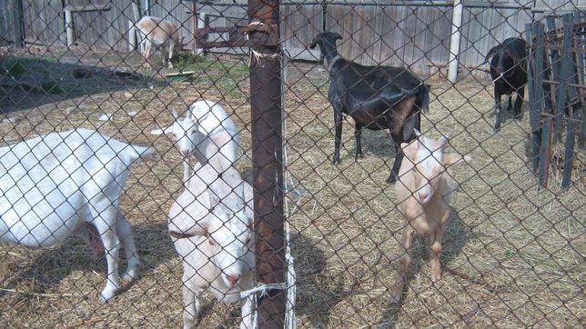 Продам коз,козлят