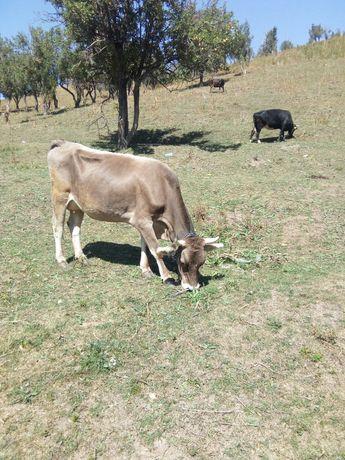 Продам корову алатаускую