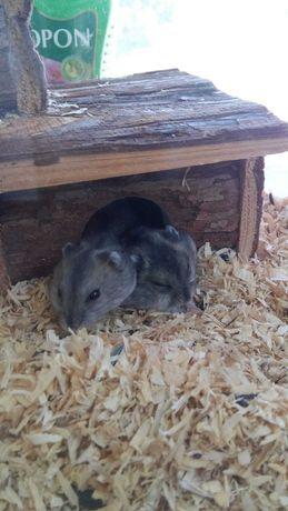 Hamsteri de vânzare