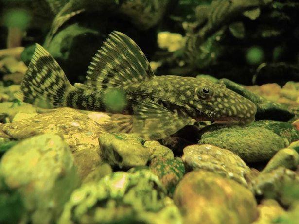 Аквариумные рыбки сомики анциструс