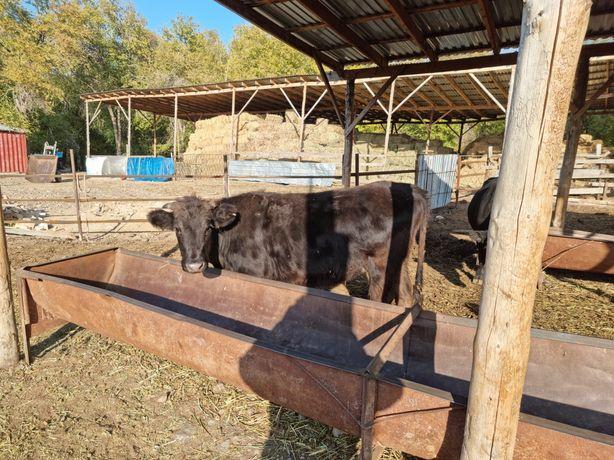 Срочно Срочно продаются коровы все стельные от чисткровного племангуса