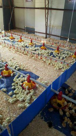 Pui de găina,pui de carne,pui zburati,Curcani .
