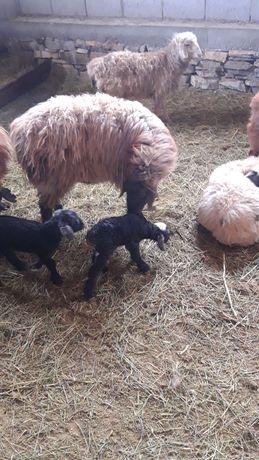 Продается оптом овцы