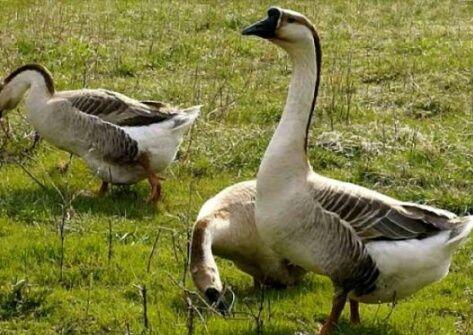 Продам больших гусей