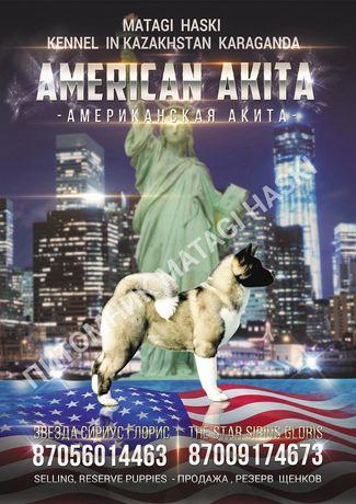 Продаю Американскую Акиту