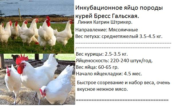 Инкубационное яйцо породы кур Бресс Гальская. Цена 1.000 тг/яйцо