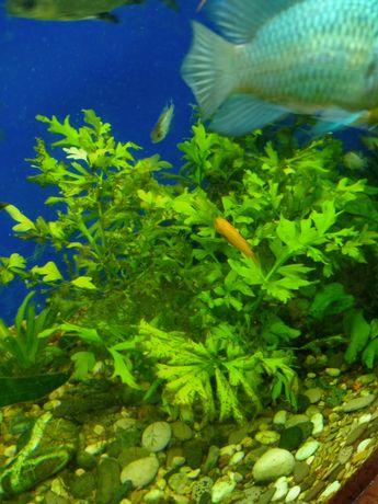 Аквариумное растение папоротник отроски