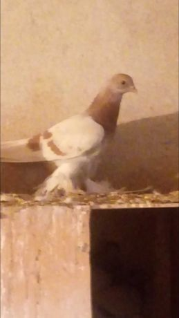 Продам голубей Тасман белый,желтый,сизый.