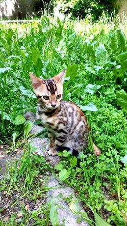 Бенгальский котёнок с документами!