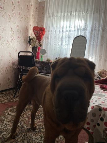 Продам собаку породы шарпей