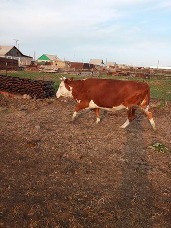 Корова не дойная
