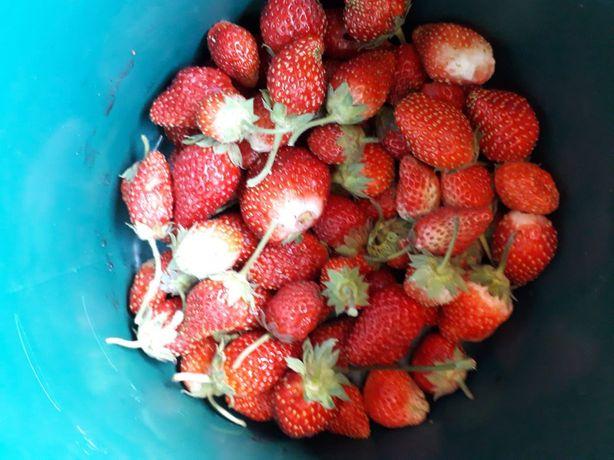 Vând stoloni de căpșuni