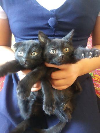 Котята девочка веслоухая, мальчик прямоухи