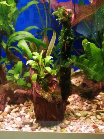 Анубиас  и мох на коряге .