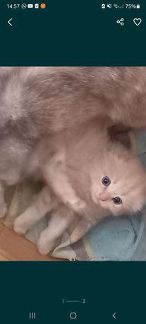 Продам котёнка за 7000 тг