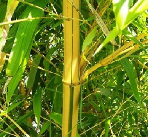 Бамбук Вивакс жълт Phyllostachys vivax 'Aureocaulis'