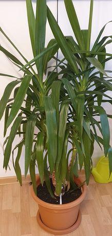 Palmier Yuka ornamental