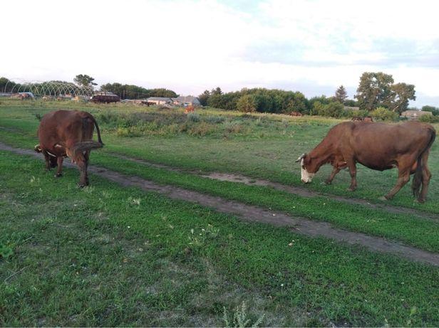 Коровы/ крс  (оптом)
