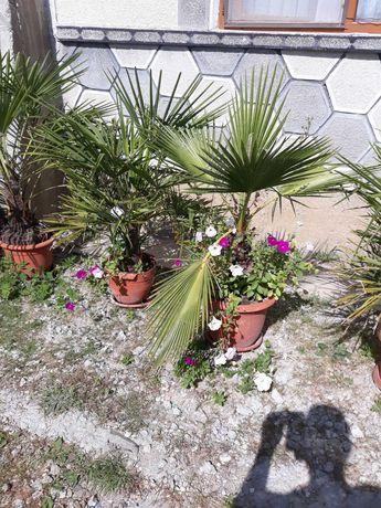 Palmieri mari in ghiveci